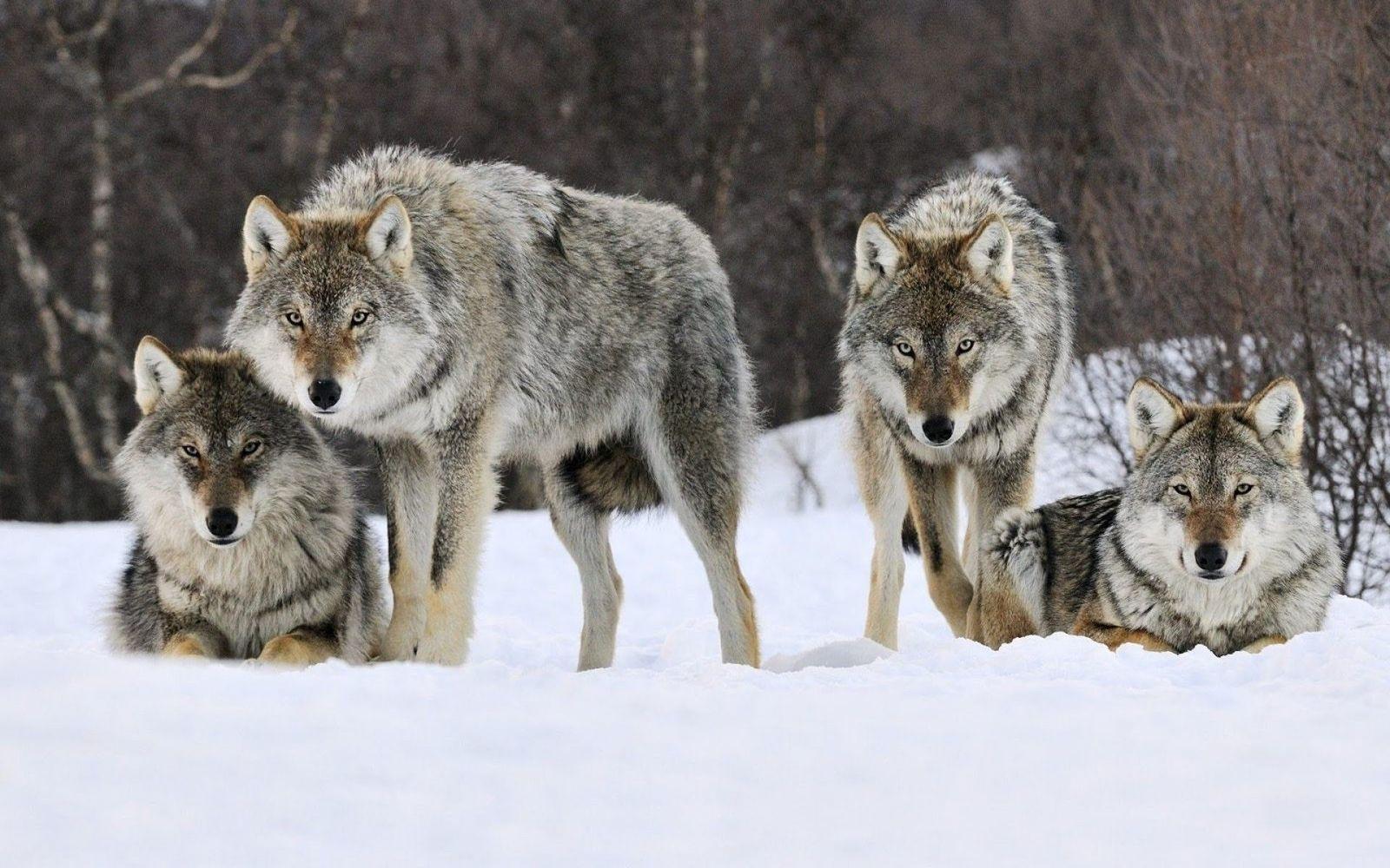 фото на аву волки стая какому врачу нужно